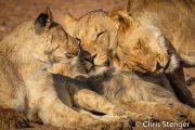 Liefkozende leeuwen - caressing lions