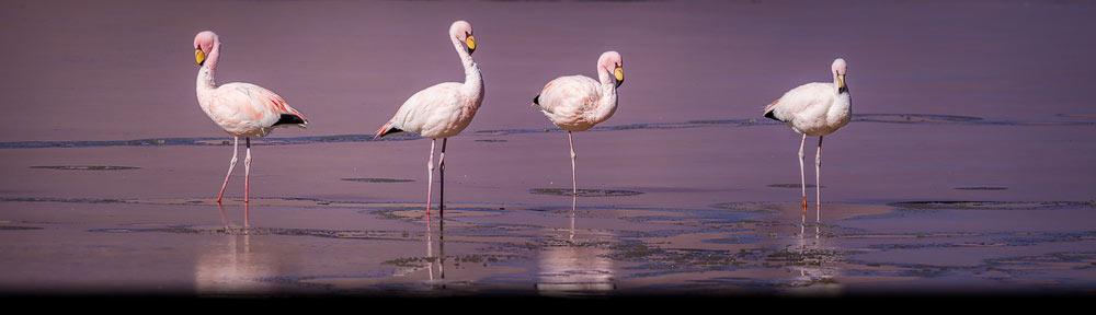 Groepje James flamingo's in halfbevroren zoutmeer op de Altiplano onderdeel van de Atacama in noord Chili - Group of James's Flamingo's in saltlake on the Altiplano part of the Atacama in northern Chile