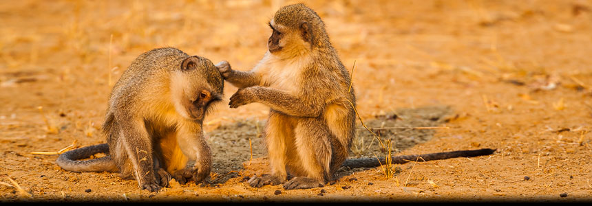 Deze foto is grappig en heeft humor in zich: twee Meerkatten die elkaar vlooien - This is funny: two vervet Monkeys grooming