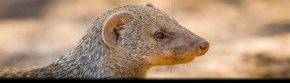 Dit portret van een Zebramangoeste is een voorbeeld van een dierenportret - Portrait of a Banded Mongoose