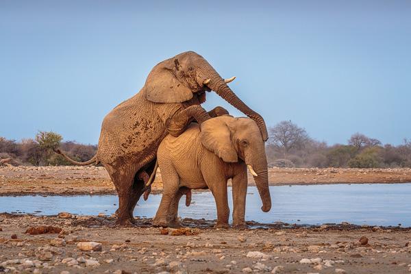 Afrikaanse Olifant (Loxodonta africana), twee vechtende stieren, waarbij de overwinnaar de overwonnene vernedert door hem te dwingen tot een schijnparing.