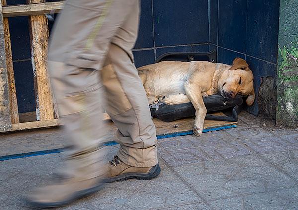 Deze slapende hond op straat in Calama heeft een soort kussen gevonden om op te slapen