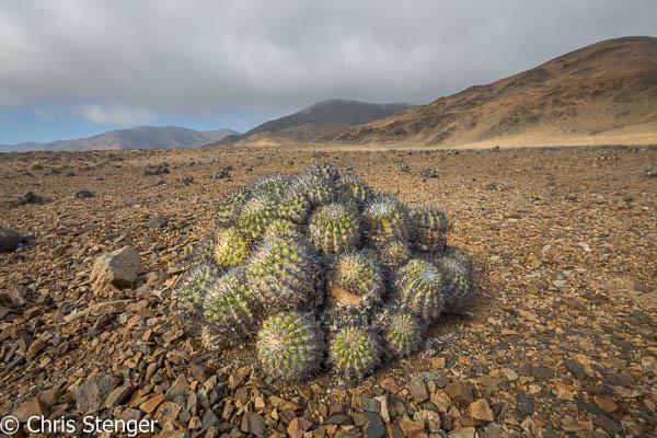 Copiapoa catus in Pan de Azucar nationaal Park in het noorden van Chili