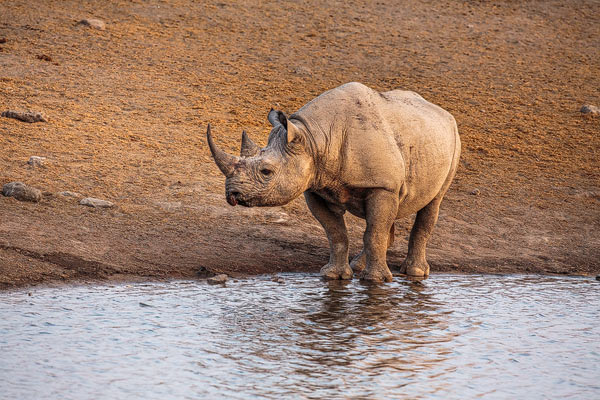 Zwarte neushoorn of Puntlipneushoorn staat te drinken uit een waterput in Etosha National Park in Namibië