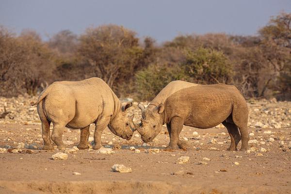Zwarte neushoorn of Puntlipneushoorn: tijdens een gevecht staan twee mannetjes dreigend tegeover elkaar
