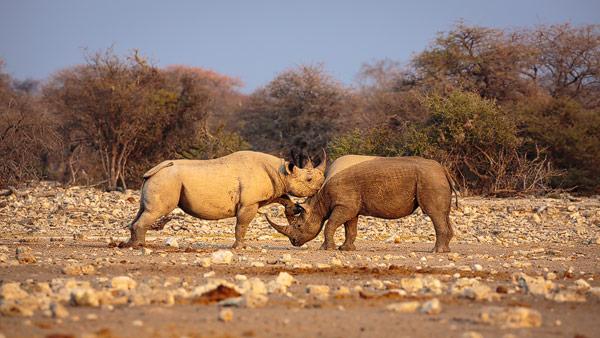 Zwarte neushoorn: twee zwarte neushoorns of Puntlipneushoorns in gevecht bij een waterput in Etosha National Park in Namibia