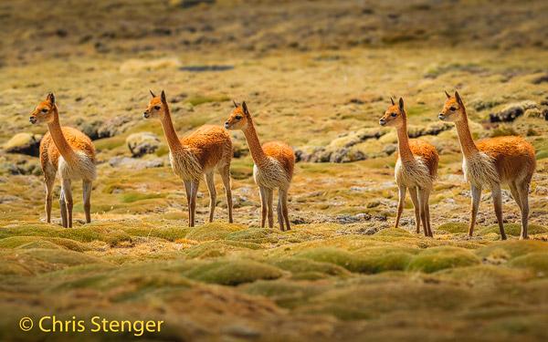 Groepje nieuwsgierige Vicuna's (Vicugna vicugna) op de Bofedal de Parinacota in het Lauca nationaal park
