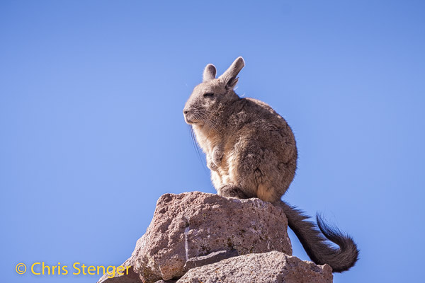 Viscacha (Lagidium viscacia) zit zich in de zon te warmen na een ijzig koude nacht