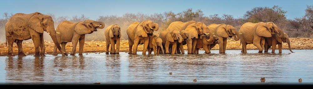 Zoogdieren uit het zuiden van Afrika: kudde Afrikaanse Olifanten bij water poel