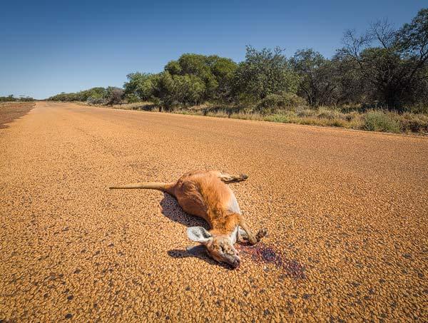 Helaas laten veel kangoeroes in Australië het leven op autowegen. Kennelijk zien ze autowegen en auto's niet als iets dat gevaarlijk is.