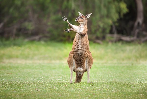 Deze manlijke Grijze reuzen kangoeroe staat te (schijn)boksen om een rivaal te imponeren. Een merkwaardig gezicht maar natuurlijk wel een moment om vast te leggen.