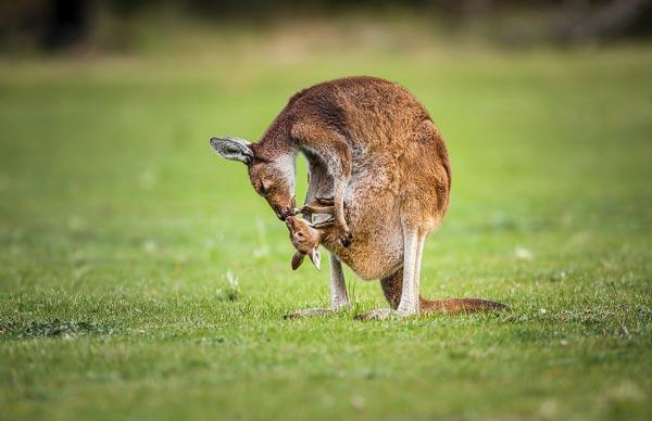 Deze Grijze reuzen kangoeroe moeder verzorgt haar jong dat in haar buidel zit. Dit jong is al groot genoeg om zo nu en dan de buidel te verlaten, want nadat ik deze foto gemaakt had, ging het jong even op stap buiten de buidel.