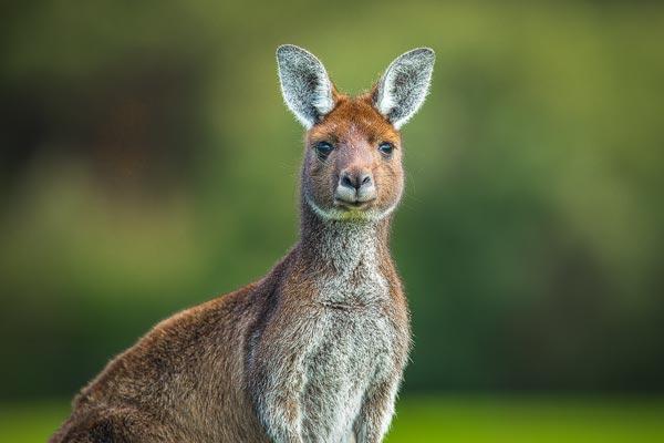 Dit portret van een Westelijke Grijze Reuzen Kangoeroe (Macropus fuliginosus) fotografeerde ik in het zuid westen van Australie