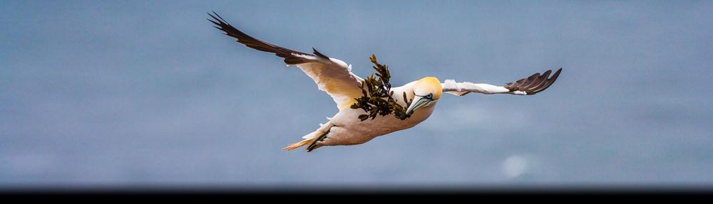 Jan van Gent één van de vele Europese vogels, hier vliegend bij Helgoland met zeewier in de snavel - Gannet flying at Helgoland with seaweed in its beak