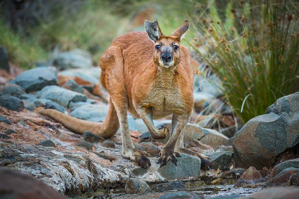 Deze foto van een Rode reuzen kangoeroe maakte ik met een 500 mm objectief op een full frame kleinbeeld camera. De zon is net onder en de kangoeroe stond te drinken uit een klein riviertje in een natuurreservaat in de buurt van Karatha toen ik hem betrapte. Een deel van z'n rechteroor is afgescheurd, waarschijnlijk tijdens een gevecht met een rivaal.