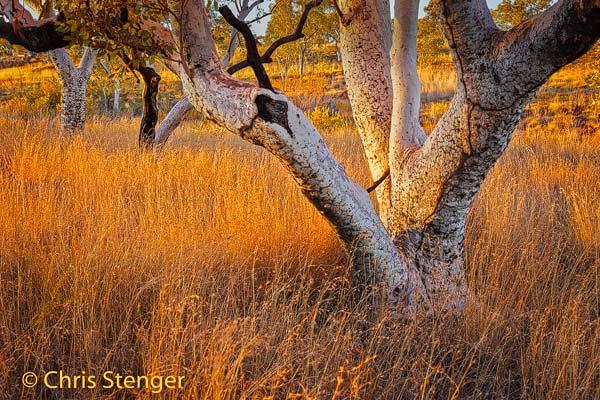 Buiten de kloven is het landschap in Karijini niet heel spectaculair. Hier een typisch landschap met Eucalyptus bomen bij zonsopkomst.