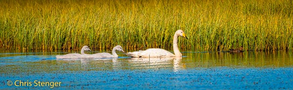 Vogelfoto's in panorama formaat. Hier een foto van een Wilde zwaan met twee kuikens zwemmend in meertje in Oost IJsland - Whooper Swan with two chicks swimming in lake in East Iceland