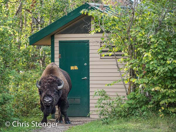 Je komt de Bizons soms op de meest vreemde plaatsen tegen. Deze kolossale stier lijkt de WC op een parkeerplaats te verlaten.