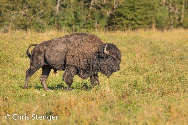 In het Elk Island National Park komen veel Bizons voor. Deze imposante Wood Bison stier werd in dit park gefotografeerd.