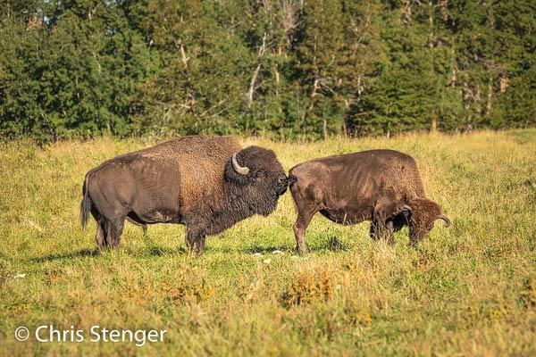 Zo nu en dan ruikt de stier aan haar achterste, waarschijnlijk om na te gaan of ze al in haar vruchtbare periode is