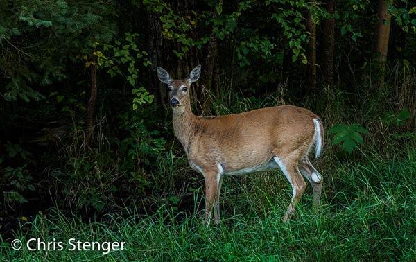 Dit verschrikte Whitetail deer fotografeerde ik 's ochtends vroeg bij het Lesser Slave Lake
