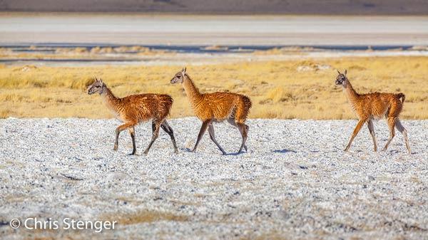 Vicuna's op de zoutvlakte Salar de Huasco. Iedere keer als ik deze dieren zie vraag ik me af hoe ze zich in dit barre landschap in leven houden