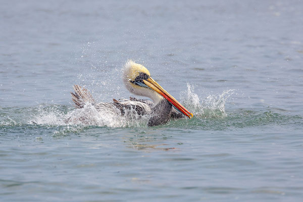 Aangetrokken door de voedselrijkdom van de Humboldtstroom leven miljoenen zeevogels langs de noord Chileense kust
