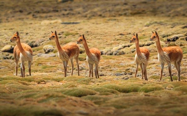 De Altiplano, de hoogvlakte van de Andes, heeft een unieke dierenwereld, waaronder de Vicuna, een ver familielid van de kameuit de oude wereldel