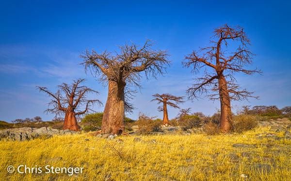 Kubu eiland in de Makgadikgadi zoutpan in Botswana staat vol met grillige Baobab bomen