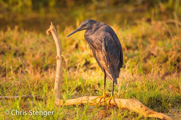 De Zwarte reiger komt veel voor in de Okavango delta in het noorden van Botswana