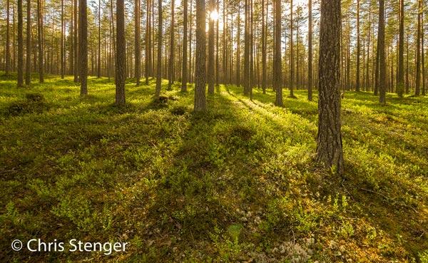 Boreaal woud in oost Finland bij laagstaande zon
