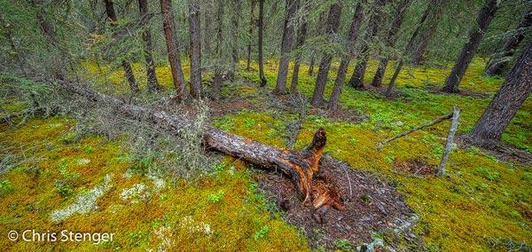 Door eindeloze boreale wouden rijden we van Whitehorse naar Fairbanks. De wouden zijn wat monotoon, maar omdat ze zo ongerept zijn, fotografisch best interessant.