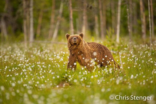 Een van de vele bruine beren (Ursus arctos) die ik fotografeerde in het oosten van Finland.