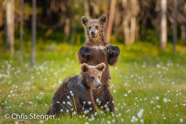 Moeders met jongen zijn uitermate voorzichtig en ook de jongen zijn behoorlijk argwanend. Terecht want mannetjes beren willen nog wel eens een jong doden als ze de kans krijgen. Canon 5DS R met EF 500mm f/4 IS USM met 1,4x converter, ISO1000 1/250sec bij f/5,6, vanaf statief.
