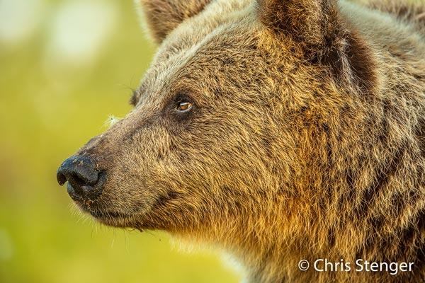 Soms kwamen de beren zo dicht bij mijn schuilhut (enkele meters) dat ik eenvoudig een kop portret kon maken. Canon 5DS R met EF 500mm f/4 IS USM, ISO1250 1/400sec bij f/5,6, vanaf statief.