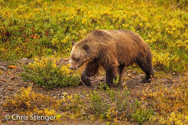 Deze beer fotografeerde ik met een 80-400mm zoomobjectief vanuit één van de parkbussen. Fotograferen van dieren vanuit een volle bus waarin iedereen elkaar verdringt om de ultieme plaat te schieten is een heel bijzondere ervaring.