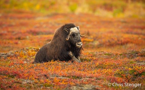 Door overbejaging was de Muskusos verdwenen van het Seward schiereiland, maar door een succesvolle herintroductie leven er nu weer meer dan 2500 Muskusossen rondom Nome. Het is één van de beste gebieden om deze imposante dieren te observeren en te fotograferen.