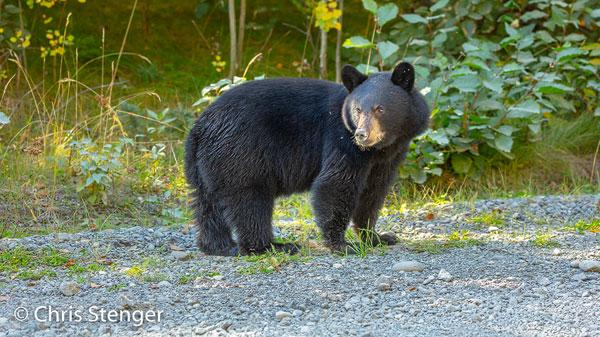 Deze zwarte beer stond rustig te grazen langs een onverharde weg. Er was heel weinig verkeer en na enige tijd accepteerde het dier onze aanwezigheid, zodat we hem een uur lang rustig konden observeren en fotograferen. Als er een andere auto voorbijkwam verdween de beer even in het bos om even later weer uit het bos terug te komen om verder te grazen. Kennelijk was hij tot de conclusie gekomen dat wij geen gevaar vormden. Canon 5Ds R met 100-400mm L IS II USM ISO800 1/100sec bij f/5,6 vanaf rijstzak in de auto