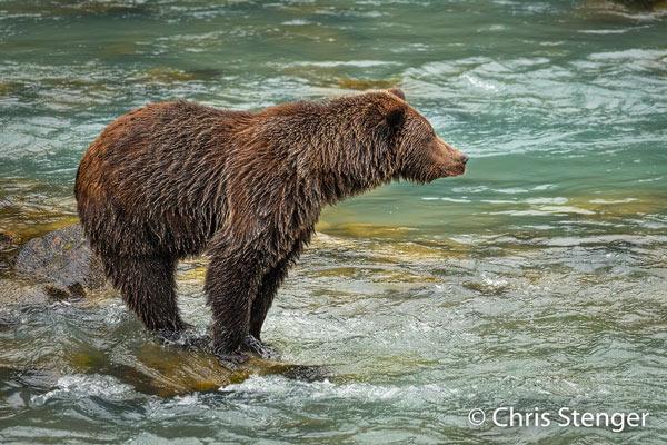 Dit staat natuurlijk bij iedereen op de 'bucket list': een beer die staat te vissen in een rivier. We hadden geen zin om veel geld te betalen voor een georganiseerde trip naar de beren, maar eigen inzicht en goed zoeken bleken voldoende voor een privé berenavontuur