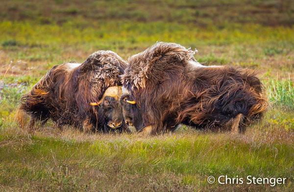 Het is herfst op de North Slope in Alaska en de Muskusos mannetjes beinnen te vechten om de vrouwtjes. Ik zal deze foto bespreken tijdens mijn presentatie op de pixperience 2019 in Nijkerk
