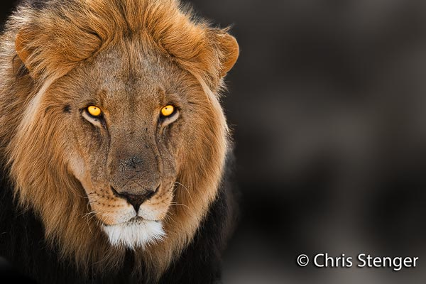 Portret van een leeuw, gefotografeerd in het Central Kalahari Game Reserve in Botswana