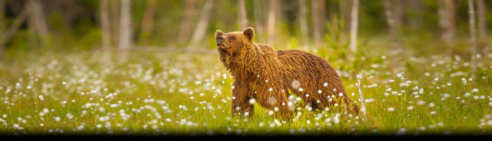 Deze foto van een bruine beer maakte ik in het voorjaar in het oosten van Finland. Hier langs de Russische grens komen veel beren voor.