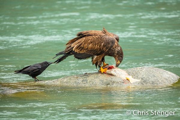 Raaf trekt Bald Eagle aan de staart zodat hij wat van de zalm kan bemachtigen