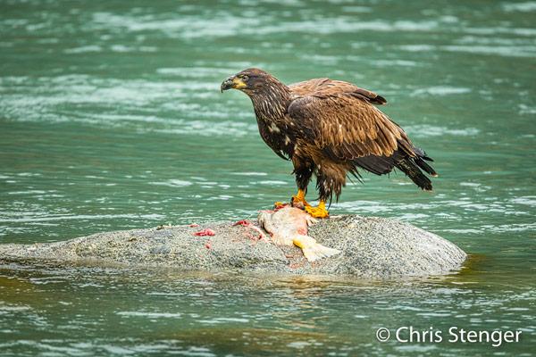 Deze juveniele Bald Eagle heeft net een zalm gevangen en zit in een mooie positie om foto's te maken. Ik besluit dus om dit beest een tijdje te observeren.