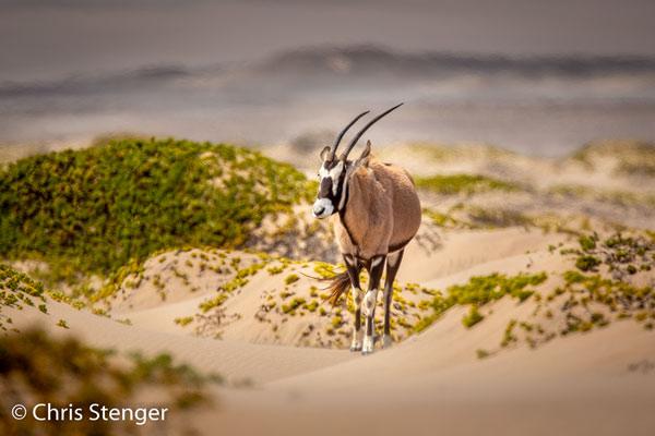 In een soort oase met wat plantengroei in de verder totaal desolate woestijn van de Skeletyon Coast wamen we een kudde van 8 van deze Oryxen tegen. Onvoorstelbaar hoe deze dieren hier weten te overleven