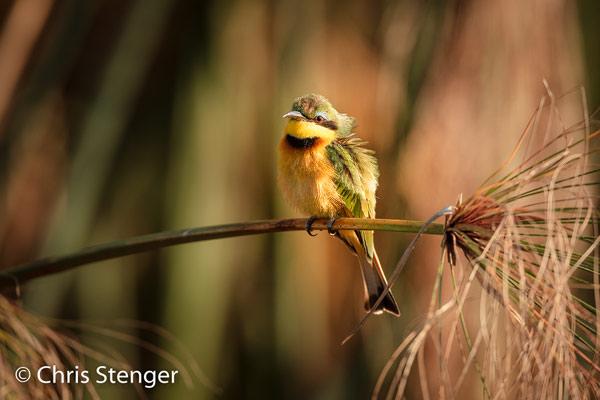 Ik fotografeerde deze bijeneter in het riet langs de Okavango rivier in het Kavango district