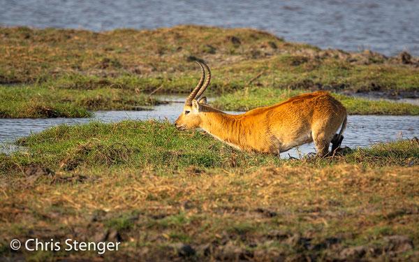 Gefotografeerd in een moerassig gebied langs de Okavango rivier in het Kavango district. De uiterwaarden van de Okavango zijn, zeker in het droge seizoen, een toevluchtsoord voor duizenden Antilopen, Olifanten, Buffels etc.