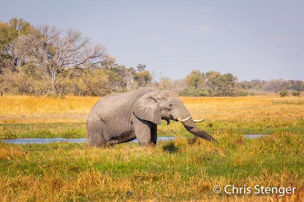 Olifanten kom je altijd wel tegen in het noorden van Botswana. Deze stier stond met 2 andere stieren op de over van de Khwai river te grazen. Het is de droge tijd en de Khwai river is niet veel meer dan een klein beekje net achter de Olifant.