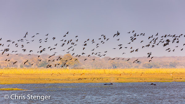 Witwangfluiteenden zijn een normale verschijning in de Okavango delta. Hier een grote groep die opvliegt boven de Okavango rivier