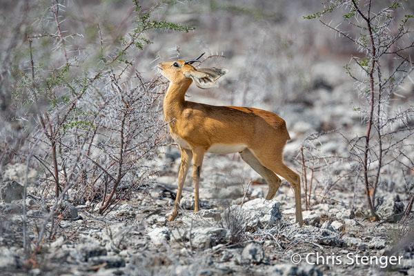 Als afwisseling op al die standaard dieren als Zebra's en Olifanten die je tegenkomt in Etosha heb ik maar eens een foto van een Dik-dik geplaatst. De Dik-dik is één van de kleinste antilopen. Het dier is niet veel groter dan een Nederlandse haas.